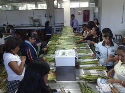 Mangas Ramírez explicó que el lirio acuático con menor carga de contaminantes fue utilizado en la fabricación de papel y artesanías.