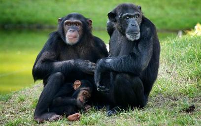 chimpance-gusto-por-beber